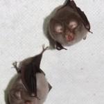 Netopýři - Chrustenická šachta